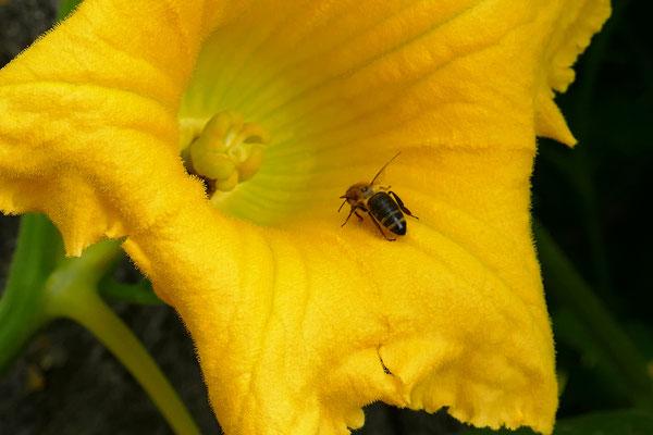 04.09.-Biene auf Kürbisblüte