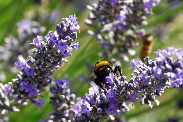 23.07...Sommer, Biene und Lavendel !