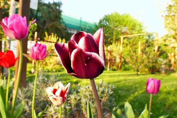 19.04...NR..Tulpen sind da