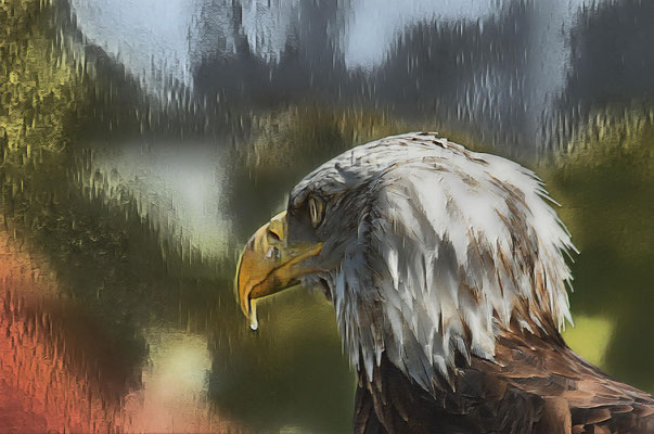 06.05...Weißkopfseeadler