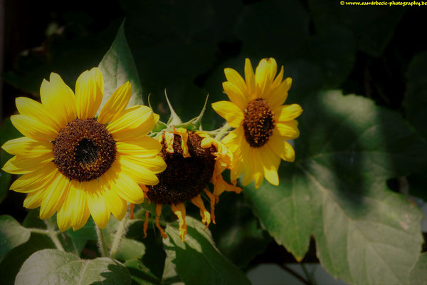 02.09.-Trojka-Sonnenblumen