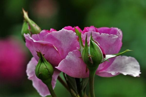 24.08...NR-Rose Pink Paradise