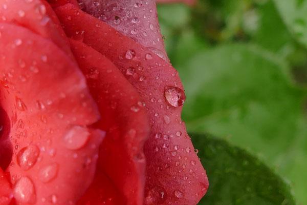 27.06...Rosen am gießen..!