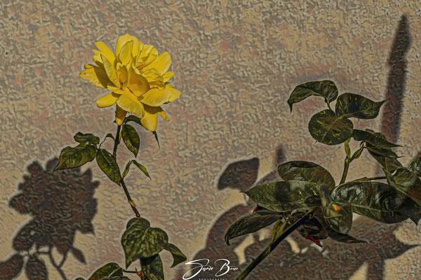 """22.06.""""Gelbe Rose-Freunschaft und Liebe""""!"""