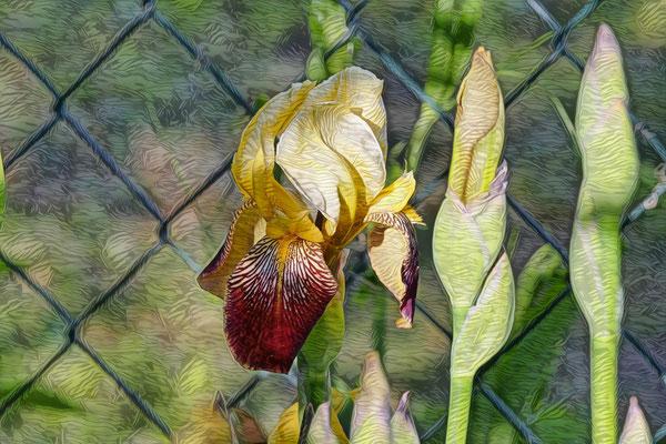 16.06...Iris (Schwertlilien) !