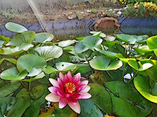 05.08...Seerose im Garten !