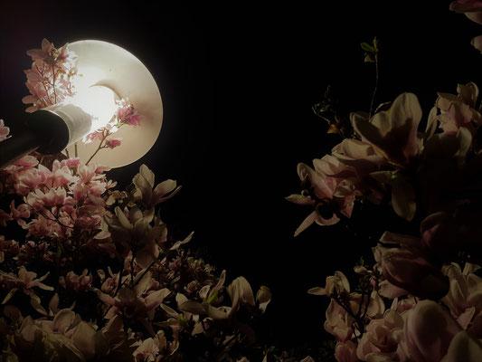 12.04....NR-Magnolie in der Nacht