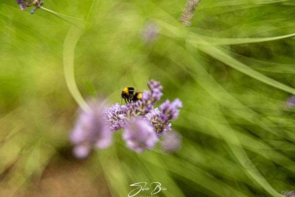 """05.07.""""Lavendel-Bienenfreundliche Pflanzen""""!"""