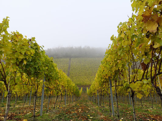 04.11..NR-Weinberg im Nebel