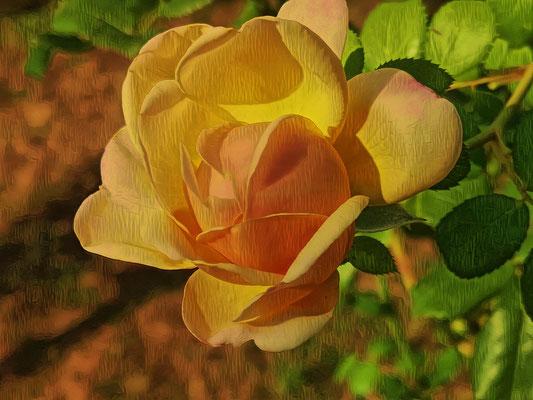 07.08...Rose im Garten !