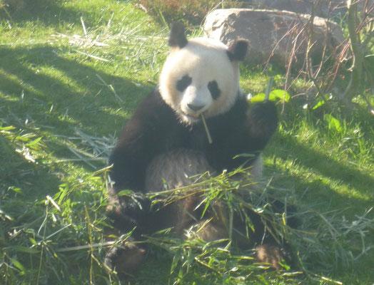 repas des pandas-zoo de beauval