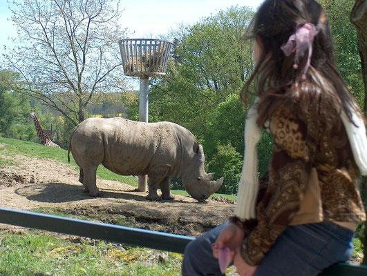 rhinocéros-zoo de beauval