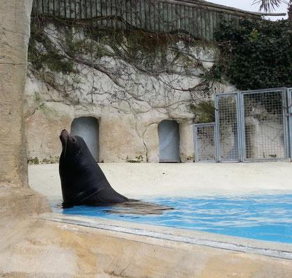 lions de mer-zoo de beauval