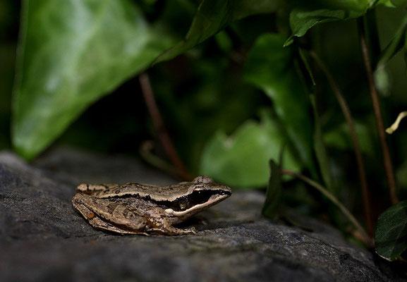 凹耳蛙 ©袁屏