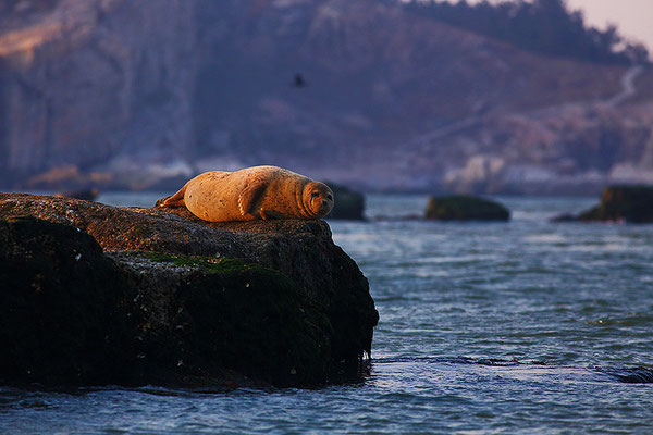 Spotted Seal  斑海豹 © 袁屏 Yuan Pin