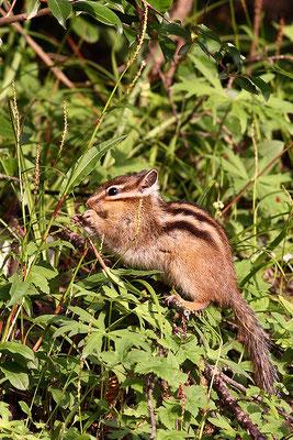 Siberian chipmunk 花鼠 © 袁屏 Yuan Pin