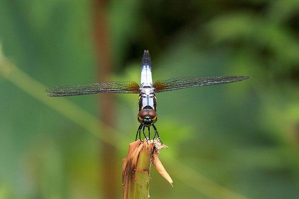 蓝额梳脉蜻 ©袁屏