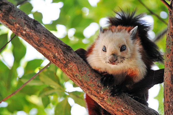 红白鼯鼠 Red and White Giant Flying Squirrel  © 刘思阳 Liu Siyan