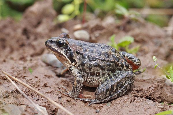 高原林蛙 ©袁屏