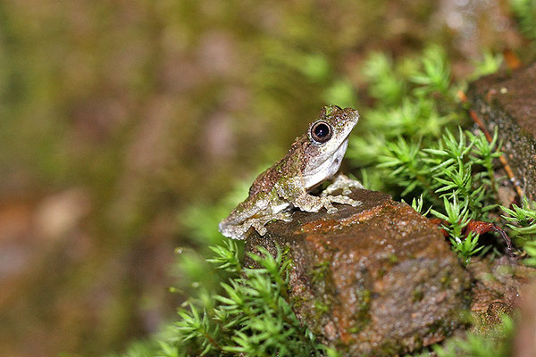 锯腿小树蛙 ©袁屏