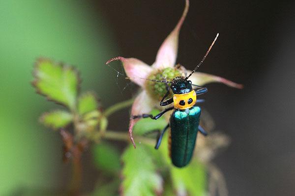 眼斑拟花萤 ©袁屏
