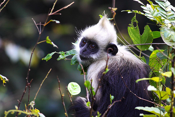 White-Headed Langur 白头叶猴 © 袁屏 Yuan Pin