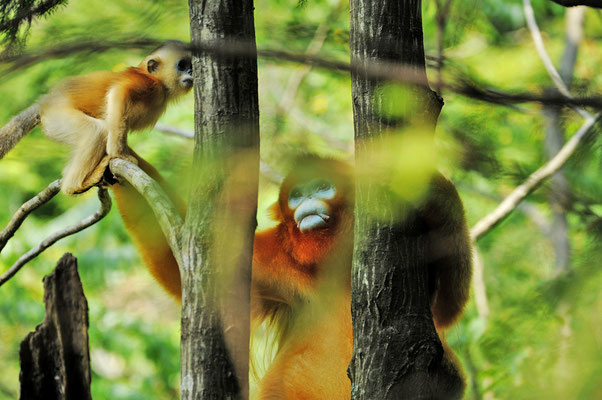 Golden snub-nosed monkey 川金丝猴 © 刘思阳 Liu Siyan