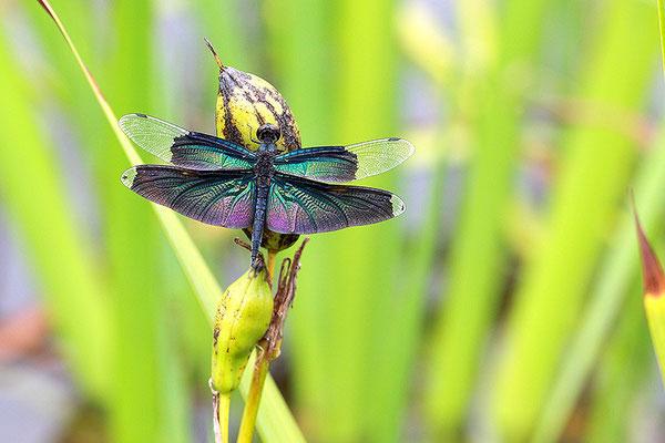 黑丽翅蜻 ©袁屏