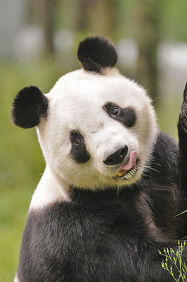 Giant panda 大熊猫 © 刘思阳 Liu Siyan