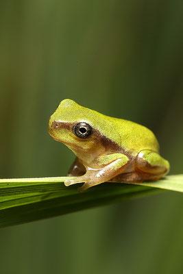中国雨蛙 ©袁屏