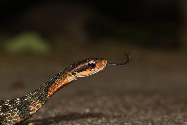大眼斜鳞蛇 ©袁屏