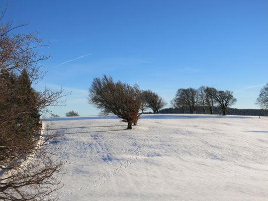 Windgeformte Bäume am Schauinsland