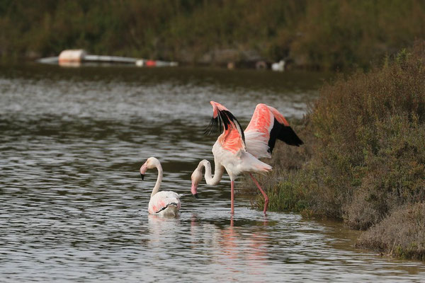 Flamingo auf Mallorca