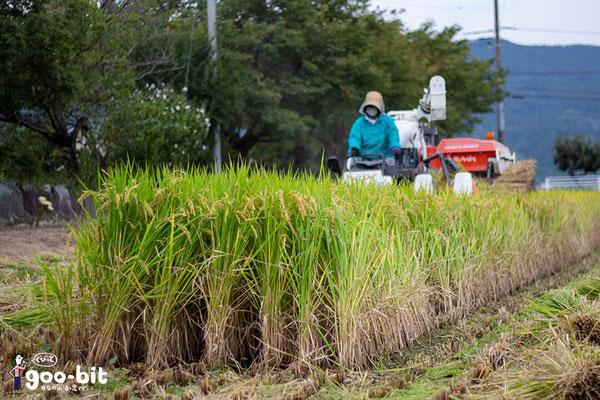 南足柄での稲刈り風景です。福嶋さんが収穫しています。(南足柄市)
