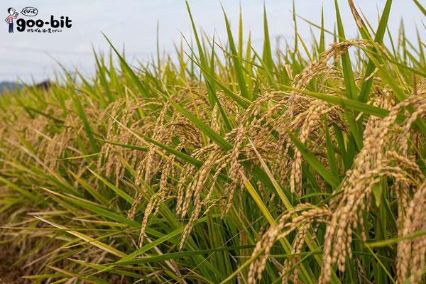 足柄で栽培されている酒米「若水」。(南足柄市)