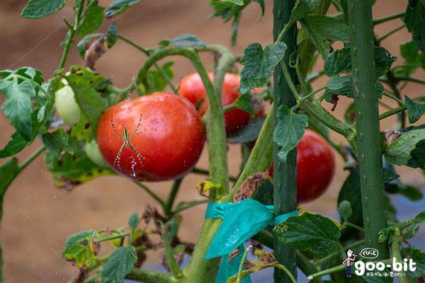 ある農園の大玉トマト。クモがトマトの前面に陣取っているのが面白くて撮りました。(川崎市)