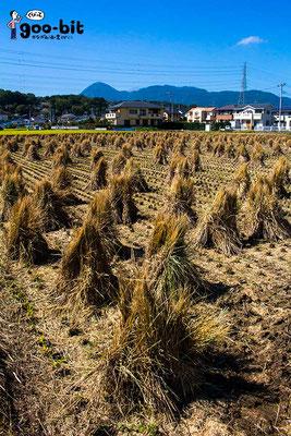 稲刈り後の風景。奥に見える形の良い山は「矢倉岳」。(南足柄市)