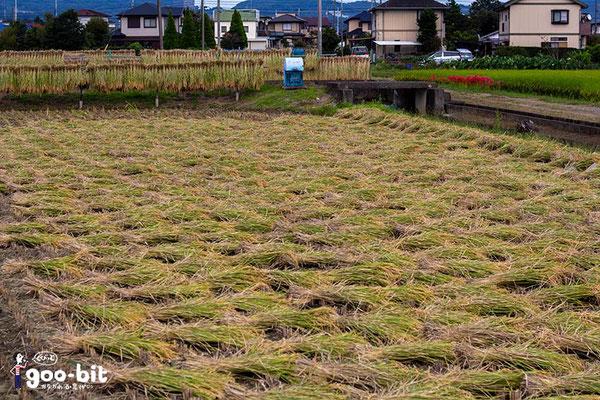 収穫後の稲わら(南足柄市)