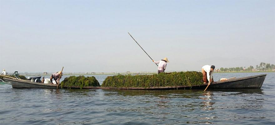 Inle Lake see weed harvesting