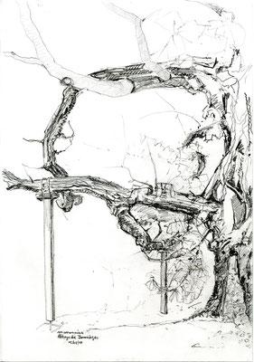 Plaqué-grillé, 2019, dessin à la mine de plomb sur papier 180g: marronnier multicentenaire étayé, feuillage grillé par les canicules, parc de l'Abbaye de Jumièges (Normandie), 21x30cm.
