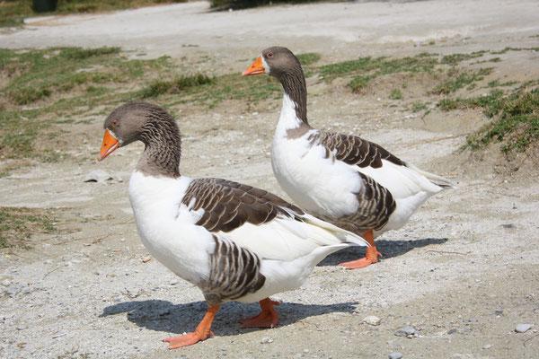 7 Gänse in Griechenland/Geese in Greece