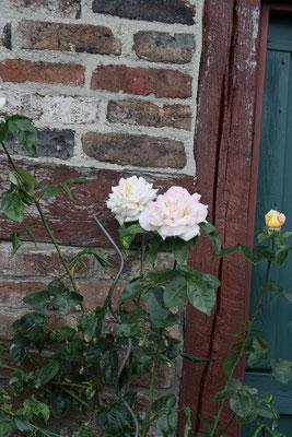 65 Rosa Rosen/Pink roses
