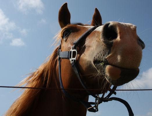 13 Neugieriges Pferd/Snoopy horse