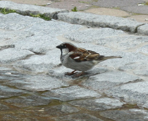 4 Spatz am Brunnen/Sparrow at a fountain
