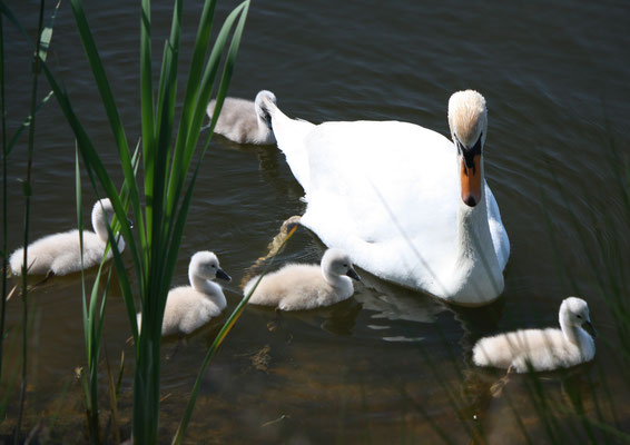 157 Schwanfamilie/Family of swans