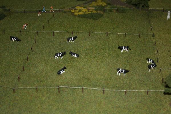 18 Kühe/Cows