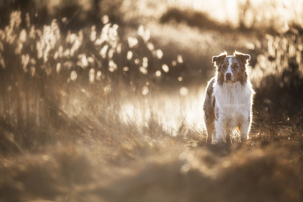 Aussie, australian shepherd
