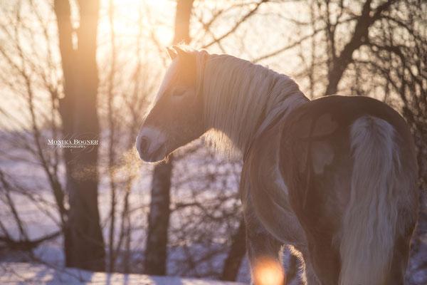 Fotoshooting im Winter mit Pferd, Haflinger