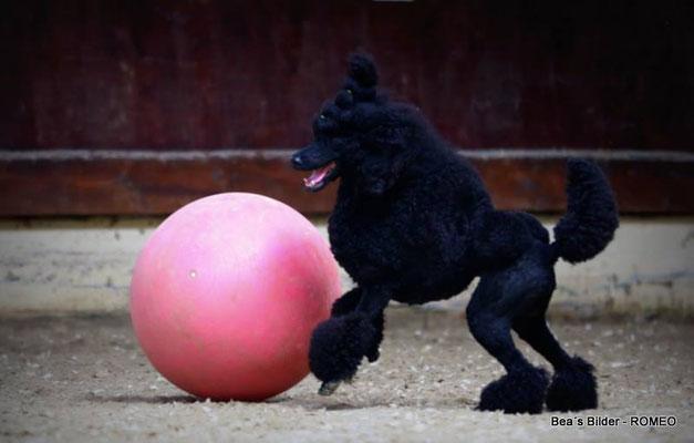 Grosspudel mit Gymnastikball Treibball