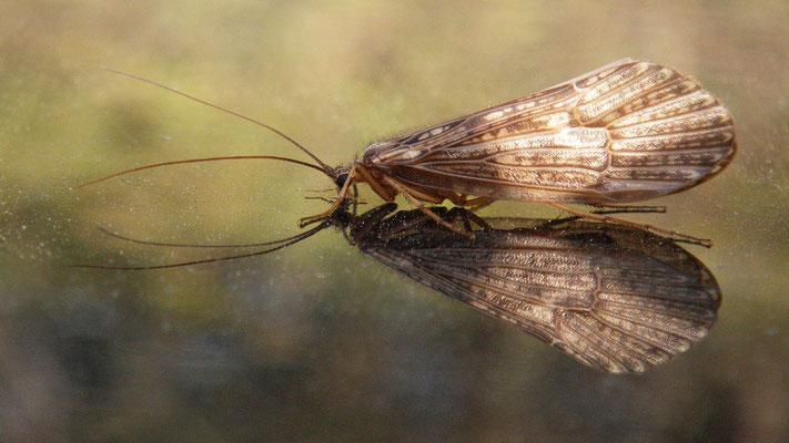 Herbstköcherfliege aus der Gattung Halesus in der artenreichen Familie Limnephilidae (Bestimmung: Internet)